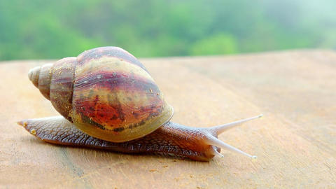 Garden snail crawling on wooden surface Footage