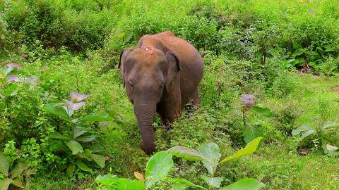 Asian elephant standing in thickets, moving its ears and eating plants Footage