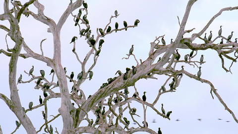 Lot Cormorant birds (Microcarbo niger) resting on dry tree. Sri Lanka Footage