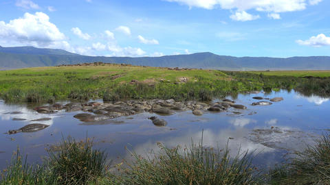 A herd of hippos in the lake of Ngorongoro crater. Safari - journey through the