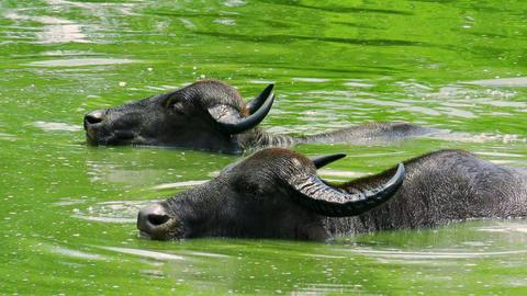 Wild Asian water buffalos bathing and splashing in green lake full of algae Footage