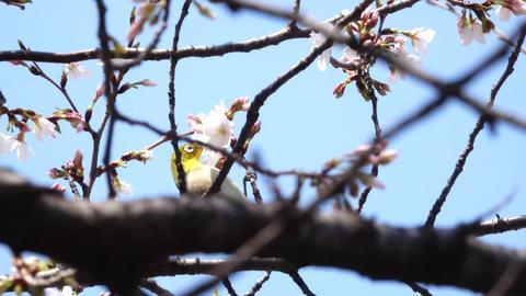 FHD JAPANESE Spring Footage - SAKURA Vol 1 - Footage