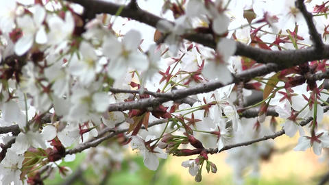 Cherryblossoms 01 Stock Video Footage