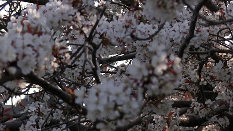 Cherryblossoms 03 Footage