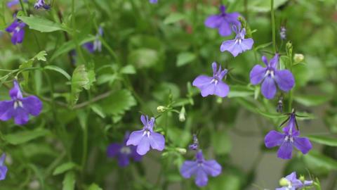 Flower Blue Lobelia Footage