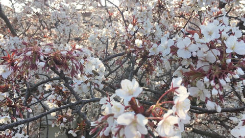Cherryblossoms and Bees 03 Footage