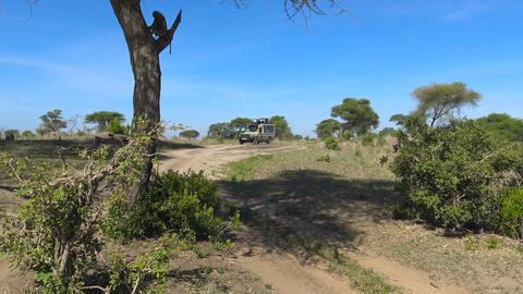A herd of baboons. Safari - journey through the African Savannah. Tanzania Footage