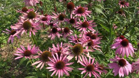 Pink Echinacea flowering Footage