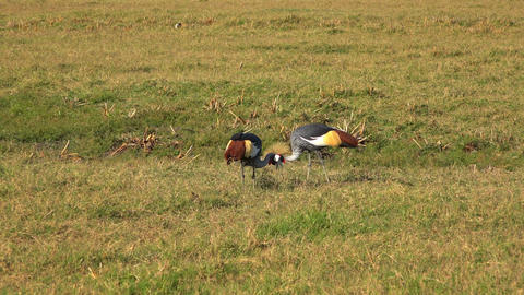 Crowned cranes Footage