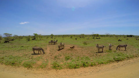 Wildebeest and Zebra. Safari - journey through the African Savannah. Tanzania Footage