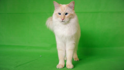 Fluffy cat on a green background. Ragdoll Live Action