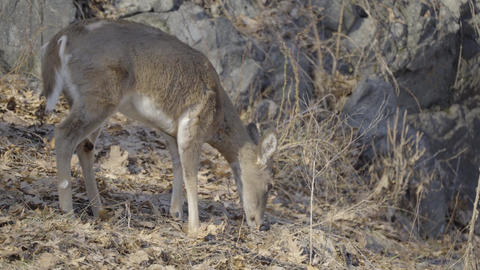 Small deer strolls through dried vegetation Footage