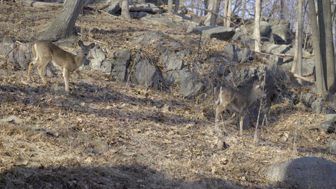 Two deer nervously looking around Footage