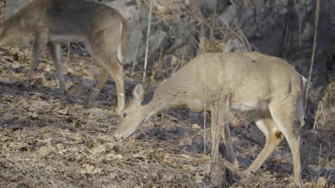 Deer goes back to eating Footage