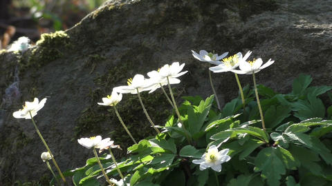 Blooming Anemone nemorosa on forest ground Footage