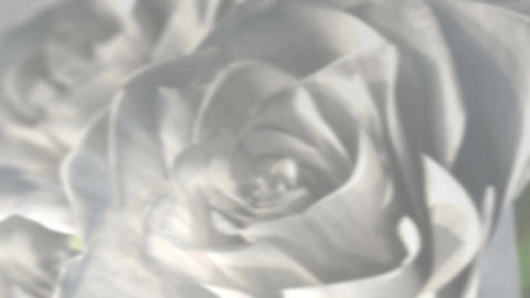 rotating white roses background theme - 3D render. seamless loop Animation