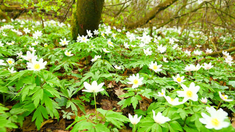A meadow full of wood anemones in blossom, slow camera movement close up to grou Footage