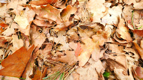 Oak leaves. Autumn park ground with carpet of dry orange oak leaves, broken twig 영상물