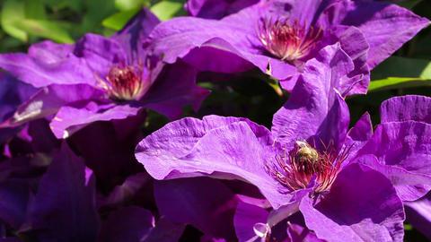 Honey bee on violet blooming clematis Footage