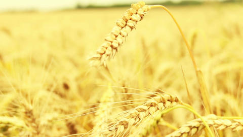 Wheat spike sways in the wind Footage