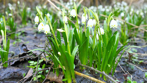 Dewy tufts of spring snowflake (Leucojum vernum) in moist soil in the alder fore 영상물