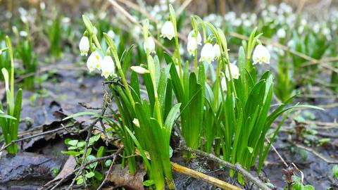 Dewy tufts of spring snowflake (Leucojum vernum) in moist... Videos de Stock