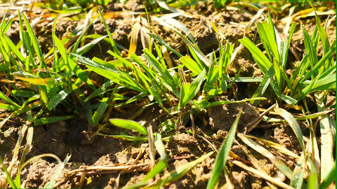 Spring wheat field, small young plants moving in the wind. Moved wheat leaves by Live Action