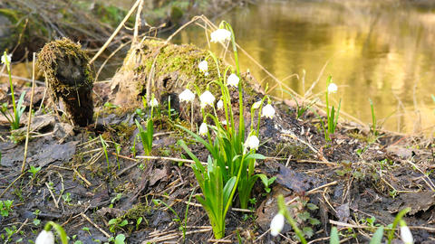 Spring snowflake flowers at river bed. Dewy tufts of spring snowflakes (Leucojum Live Action