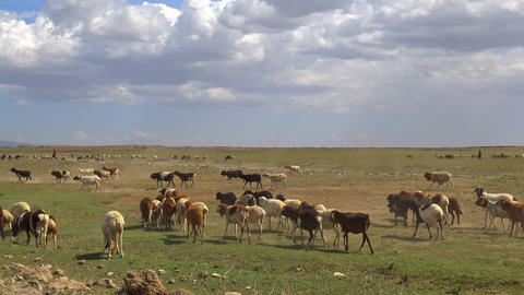Pets Masai tribe Footage