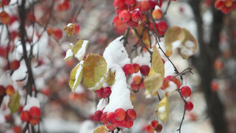 Apples hang on apple tree branches covered snow Footage