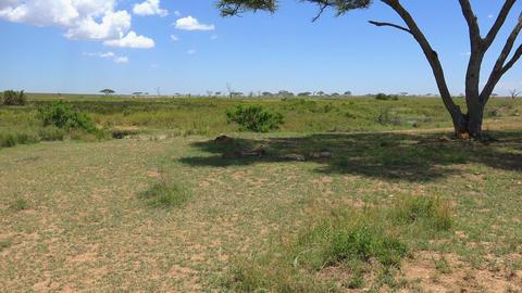 African lions. Safari - journey through the African Savannah. Tanzania Live Action