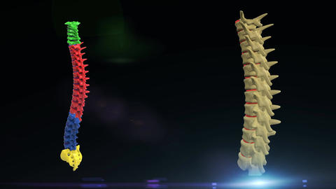 Thoracic Spine Animation