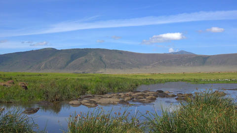 A herd of hippos in the lake of Ngorongoro crater. Safari - journey through the Footage