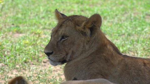 African lions. Safari - journey through the African Savannah. Tanzania Footage