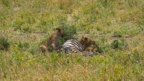 African lions near just killed them zebras Live Action
