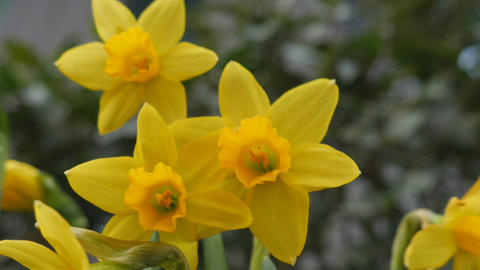 Spring. Beautiful yellow flowers Footage