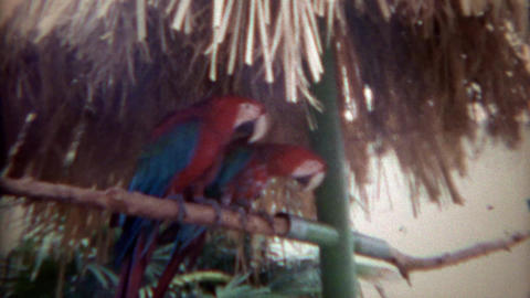 1967: Tropical Parrot Birds Perched Being Friends And Enemies stock footage