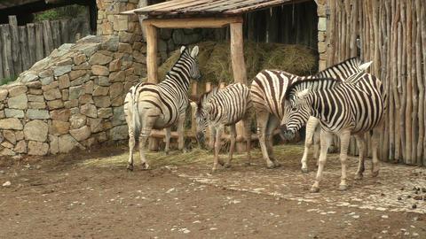 Burchell's Zebra family group (Equus quagga burchellii) Footage