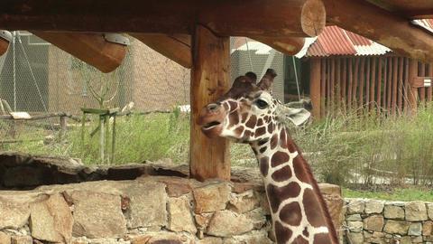Reticulated giraffe (Giraffa camelopardalis reticulata), also known as the Somal Footage