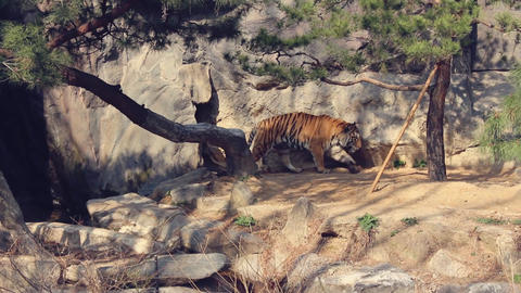 Tiger Fight Live Action