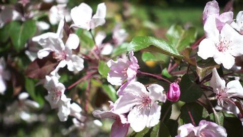 Apple Tree Flowers Archivo
