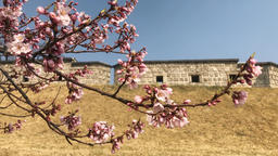 Cherry Blossoms and Changnyongmun Gate 02 Live Action