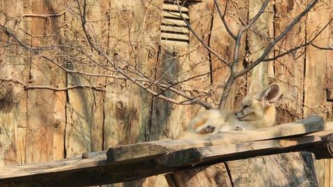Desert fox 01 Footage