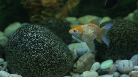 Exotic fishes in an Aquarium Footage