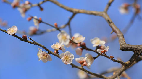 Flowering plum against the blue sky Footage