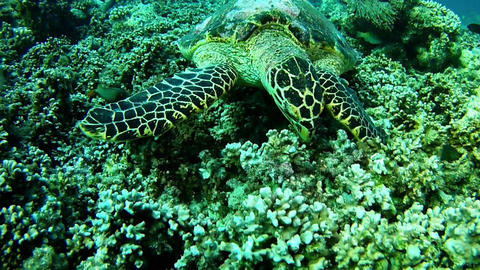 Sea Turtle diving in Maldives Footage