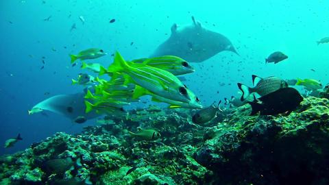 Marine life Manta ray scuba diving in Maldives Footage
