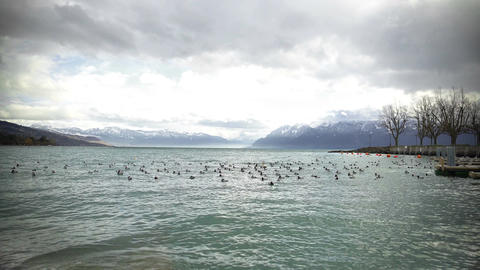 Wild ducks floating on Geneva Lake on winter day, cloudy sky above Alps, nature Footage