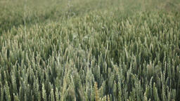 green wheat in the field Footage
