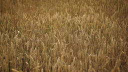 wheat growing on field Footage